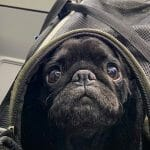 Pebbles the Pug on an airplane
